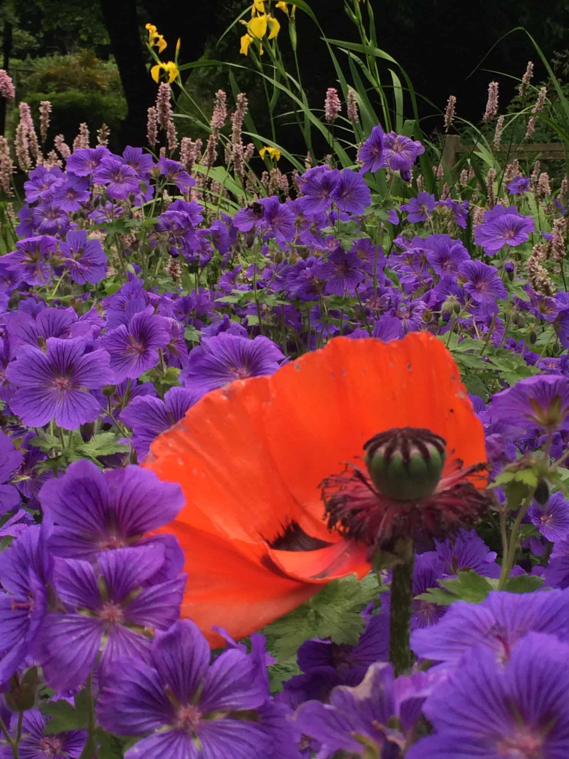 flowers that go with poppies