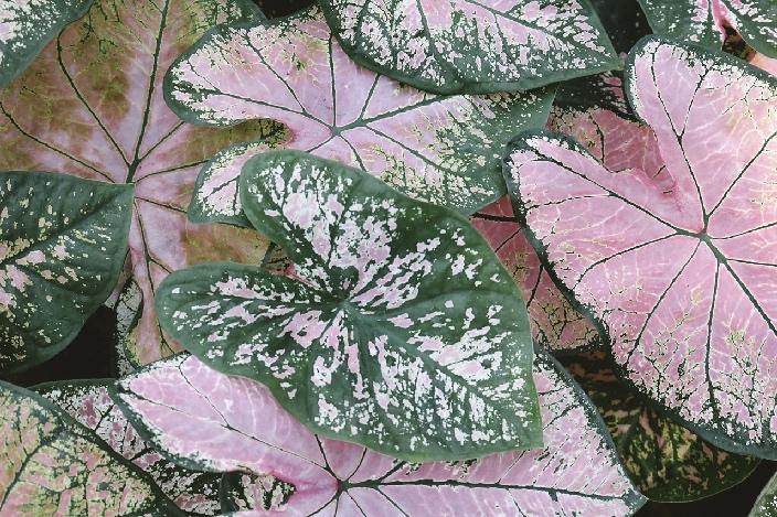 image of pink caladium plants